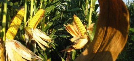 USDA: Προβλέψεις για ρεκόρ παραγωγής καλαμποκιού στην Ευρώπη το 2014/15
