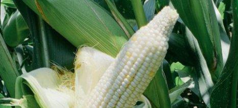 Το λευκό καλαμπόκι καλλιεργείται και στην Ξάνθη