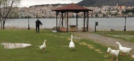 Με πρωτοβουλία της Π.Ε. Καστοριάς έριξαν 1.000 κ. καλαμπόκι για το τάισμα των πουλιών της λίμνης
