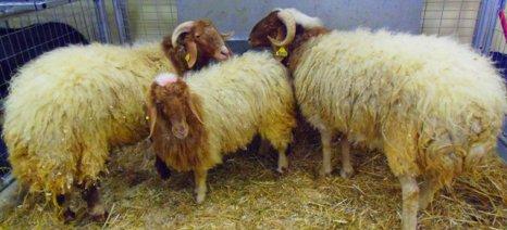 Πρωτουβουλία ίδρυσης ομάδας παραγωγών για το καλαρρύτικο πρόβατο