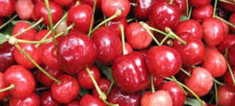 Με ρεκόρ για τα κεράσια συνεχίζονται οι εξαγωγές θερινών νωπών φρούτων και κηπευτικών