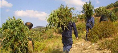 Περισσότερα από 650.000 φυτά κάνναβης κατέστρεψε φέτος η αλβανική αστυνομία