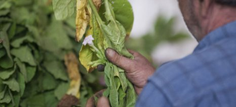 Ματαίωση τελευταίας στιγμής για την αίτηση ένταξης παραδοσιακών καπνών «Σέρτικο» σε σήμα ποιότητας της Ε.Ε.