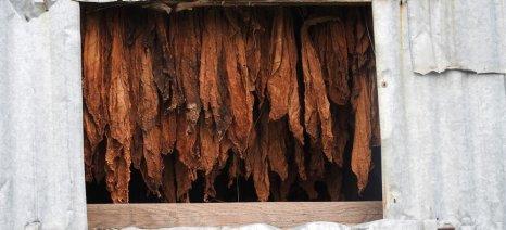 Πώς διαμορφώθηκαν οι φετινές τιμές παραγωγού για τον καπνό στην Ελασσόνα