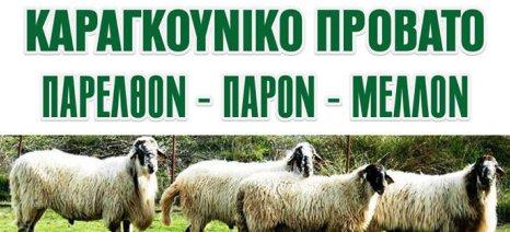 Ημερίδα με θέμα «Καραγκούνικο πρόβατο: Παρελθόν - παρόν - μέλλον» στον Παλαμά στις 20 Οκτωβρίου