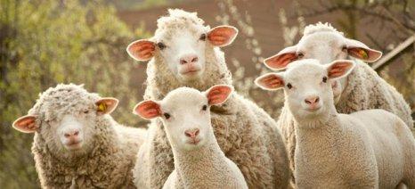 Στην επιλογή των κτηνοτρόφων - και από την τσέπη τους - ο εμβολιασμός για τον καταρροϊκό πυρετό