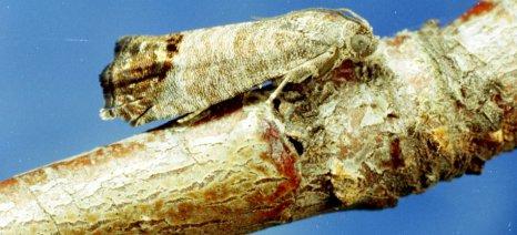 ΕΚΕ: Παρουσιάζει έξαρση η καρπόκαψα στην ροδακινιά