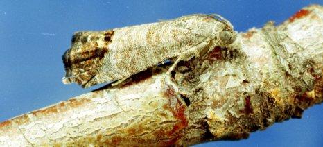 Να συνεχιστούν οι επεμβάσεις για την αντιμετώπιση της καρπόκαψας της μηλιάς στην Καστοριά