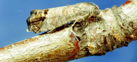Μεθόδους αντιμετώπισης καρπόκαψας, νάρκης, αφίδων και κόκκινου τετράνυχου στα μηλοειδή συστήνουν οι γεωπόνοι του Ναυπλίου