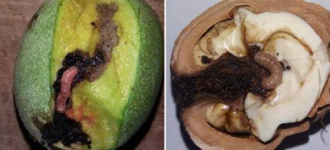Καθησυχαστικοί οι γεωπόνοι για την εμφάνιση καρπόκαψας στις καρυδιές της Θεσσαλίας