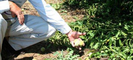 Ολική καταστροφή στα αχλάδια Τυρνάβου από την καρπόπτωση