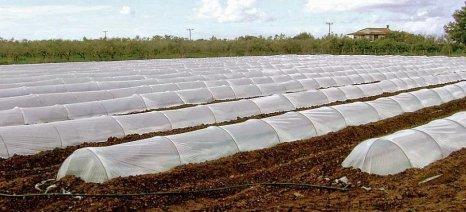 Κατά 10% αυξήθηκαν τα στρέμματα με καρπούζια στην Τριφυλία