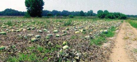 Δηλώνονται στον ΕΛΓΑ οι ζημιές από τον καύσωνα στις καλλιέργειες της Κρήτης