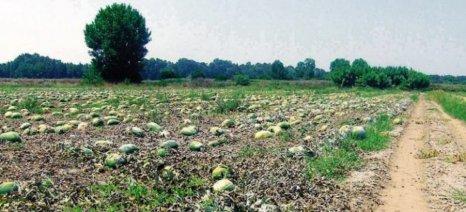Μεγάλες οι ζημιές στις καλλιέργειες καρπουζιού της Ηλείας