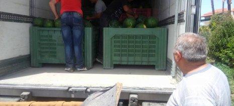 Έχουν ήδη μαζευτεί 4.000 τόνοι καρπούζι στην Τριφυλία
