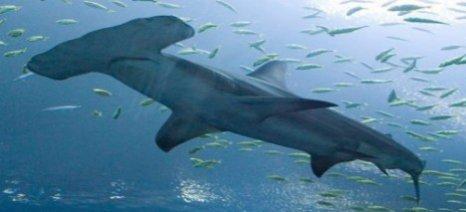 Οι σφυροκέφαλοι καρχαρίες κολυμπούν όπως οι... τεμπέληδες άνθρωποι