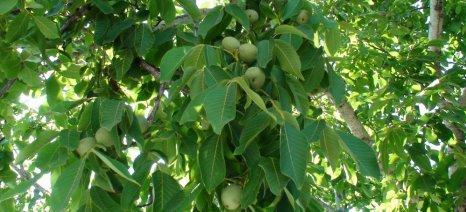 Ποια καλλιεργητικά μέτρα είναι απαραίτητα πριν και κατά τη φύτευση της καρυδιάς