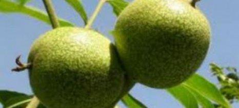Ημερίδα για καλλιέργεια καρυδιάς στη Λάρισα την Πέμπτη 17 Δεκεμβρίου