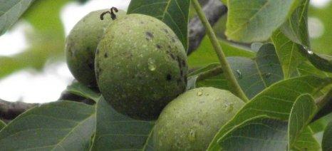 Η Θεσσαλία προσφέρεται για την καλλιέργεια της καρυδιάς