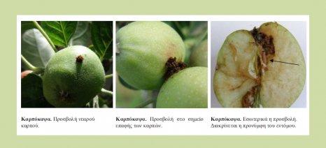 Ψεκασμούς για την καρπόκαψα σε καρυδιές, μηλιές και αχλαδιές στο Ηράκλειο συστήνουν οι γεωπόνοι