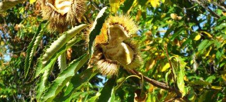 Hμερίδα για την ορθή πρακτική στην καλλιέργεια της καστανιάς