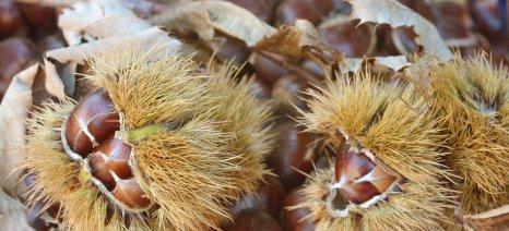 Μέχρι 6 Δεκεμβρίου οι δηλώσεις ζημιάς στο δήμο Πλατανιά για τους καστανοπαραγωγούς