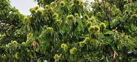 Εγκύκλιος Φάμελλου λύνει το πρόβλημα με τα καστανοπερίβολα που εμφανίζονται ως δασικές εκτάσεις