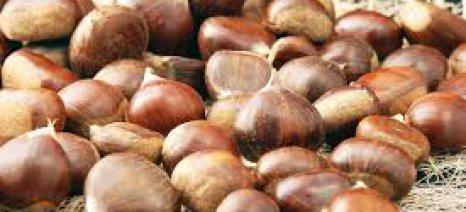 Καταστροφές στην παραγωγή κάστανου στο Πήλιο