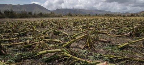 Καταστράφηκε ολοσχερώς η γεωργία και η κτηνοτροφία του Πουέρτο Ρίκο από τον τυφώνα Μαρία