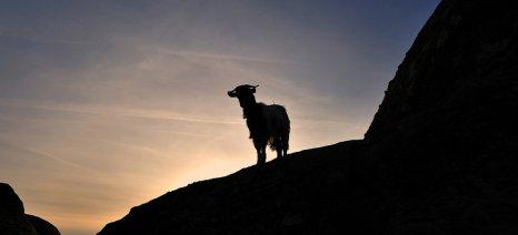 Ευθύνες για την κατάρρευση της ελληνικής κτηνοτροφίας στην κυβέρνηση αποδίδουν 7 βουλευτές της ΝΔ