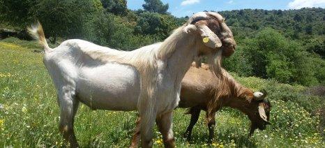 Θεσσαλοί κτηνοτρόφοι: Λάθος η ΚΥΑ για τους βοσκότοπους, αλλά δεν προτείνουν διορθώσεις