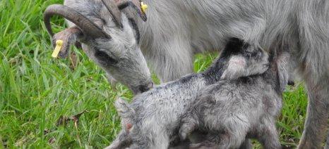 Ολοκληρώθηκε σήμερα η καταβολή των 5 ευρώ ανά ζώο στους αιγοπροβατοτρόφους