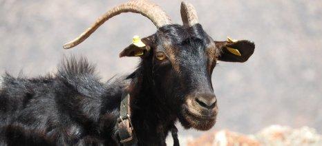 Βρέθηκε νέο αφήγημα για την ελληνική κτηνοτροφία προκειμένου να δικαιολογηθούν οι μειωμένες τιμές