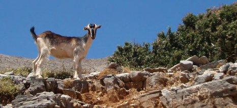 Κέντρο προβολής της κτηνοτροφίας και της βιοποικιλότητας ιδρύεται στα Ανώγεια