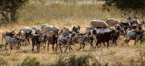 Η Πορτογαλία επιστρατεύει κατσίκες για πρόληψη δασικών πυρκαγιών