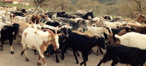Πληρώθηκε η συνδεδεμένη - αγώνας δρόμου για τα ζωικά πριμ μέχρι το Πάσχα