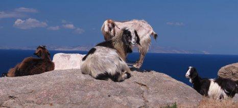 Μεγάλη μείωση των επιδοτήσεών τους φοβούνται οι κτηνοτρόφοι του νότιου Αιγαίου