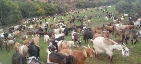 Κομφούζιο με τις πληρωμές ενισχύσεων των κτηνοτρόφων σε Ελασσόνα και Τύρναβο