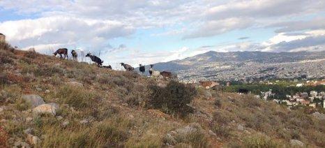 Συνέδριο για την περιαστική κτηνοτροφία από τον Κτηνοτροφικό Σύλλογο Περιφέρειας Αττικής