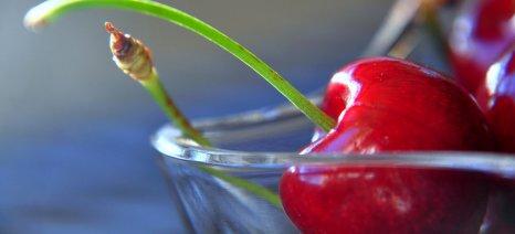Πρώτα τα κεράσια Εδέσσης σε αντιοξειδωτικά, σε σχέση με όλα τα φρούτα, σύμφωνα με τον καθηγητή Κουρέτα