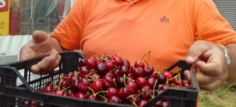 Αισιόδοξοι οι παραγωγοί της Ροδόπης για τις προοπτικές εξαγωγών των κερασιών