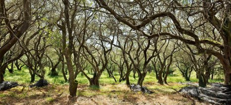 ΝΔ Κέρκυρας: Να προστατευθεί ο Κερκυραϊκός Ελαιώνας