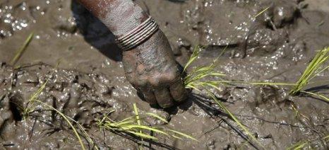 Κίνα: Μεταλλαγμένο ρύζι αλλά ποιοτικό