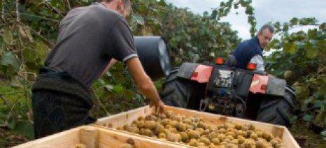 Με τιμή παραγωγού 45-50 λεπτά το κιλό πωλούνται τα ακτινίδια Άρτας