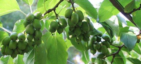 Ημερίδα για την ακτινιδιά στο Ινστιτούτο Φυλλοβόλων Δέντρων της Νάουσας στις 28 Μαρτίου
