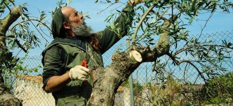 Κλάδεμα ελιάς: Όλα όσα πρέπει να γνωρίζετε