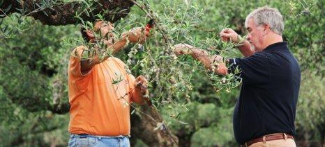 Πώς πρέπει να κλαδεύω τις ελιές μου;