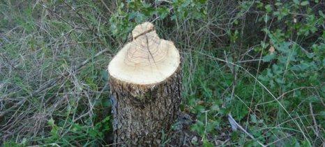 Εξακολουθούν να κόβουν ξένα ελαιόδεντρα για καυσόξυλα στην Κρήτη