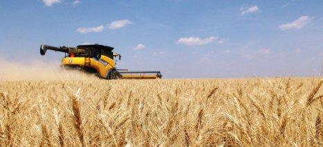 Παρέμβαση Α.Σ. Βόλου: Αγοράζει με 0,25 ευρώ ανά κιλό το σκληρό σιτάρι