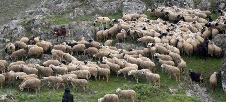 Αποζημίωση 500 ευρώ σε κτηνοτρόφο από το δήμο Αιγιάλειας για επίθεση αδέσποτου σκύλου στο κοπάδι του